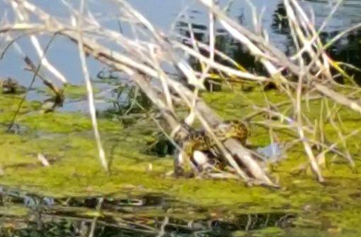 Diese Schlange ist tagelang in einem See unterwegs gewesen. Foto: Stadt Meerbusch