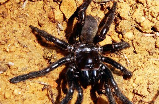 Wespe sticht älteste Spinne der Welt tot