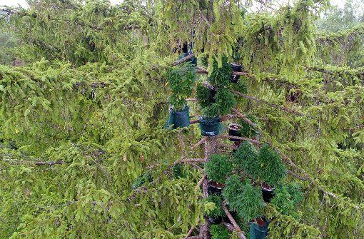 Marihuana-Plantage in luftiger Höhe entdeckt