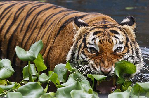 Tiger tötete Tierpflegerin in britischem Zoo