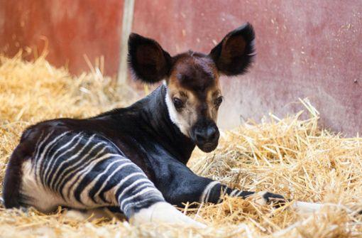 Wie soll das Okapi heißen?