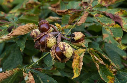 Kastanien im Land leiden unter Miniermottenbefall