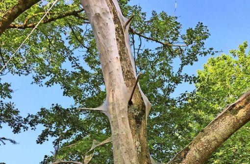 Die Raupen der Gespinstmotte hüllen ganze Bäume mit weißen Netzen ein. Foto: Sybille Neth