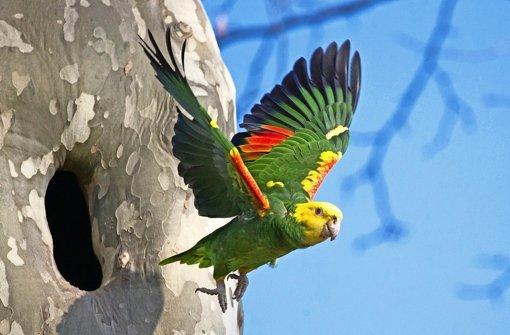 Ein Papagei beim Verlassen  seiner Bruthöhle. Die Fotografin hat ihm den Namen Gregorius gegeben. Foto: Tomoko Arai