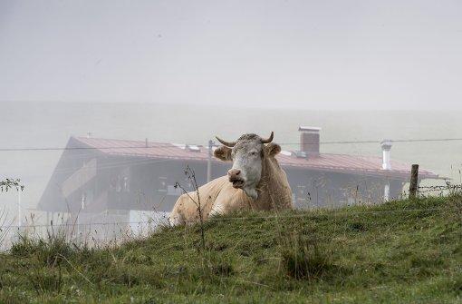 Kuh randaliert in der Stadt