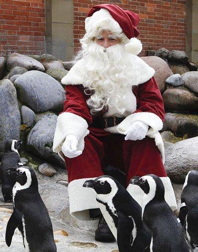 Den Pinguinen hat der Weihnachtsmann bereits vorab ... Foto: Wilhelma
