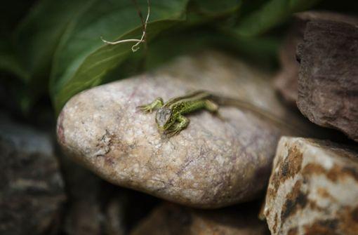 Eine Zauneidechse in einem Garten. Mauereidechsen aus Stuttgart werden dort wohl kein neues Zuhause finden. Foto: Gottfried Stoppel
