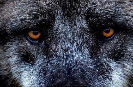 Ahuuu! Der Wolf geht um