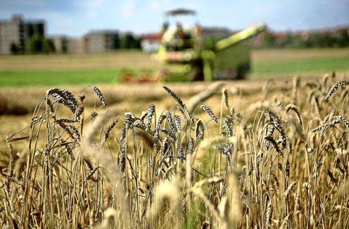 Die Trockenheit bewirkt, dass das Getreide zu viel Eiweiß hat und zu kurze Halme. Foto: Factum-Weise