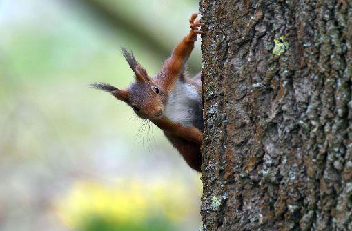 Aggressives Eichhörnchen attackiert Menschen