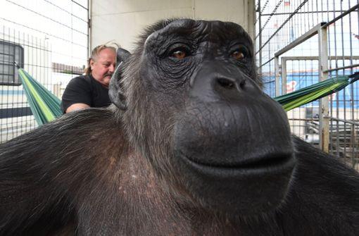 Klaus Köhler (links) muss das seit über 40 Jahren bei ihm lebende Menschenaffen-Männchen nicht an eine  auf die Resozialisierung von Schimpansen spezialisierte Einrichtung abgeben. Eine Revision ließ das  Oberverwaltungsgericht in Lüneburg nicht zu. Foto: dpa