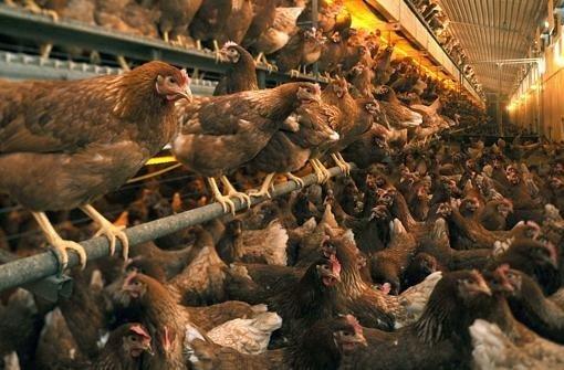 Kannibalismus im Hühnerstall
