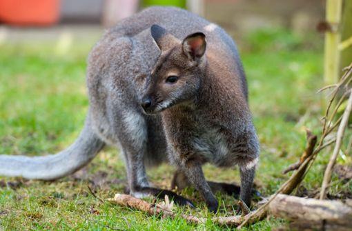 Ausgebüxtes Känguru noch immer verschwunden