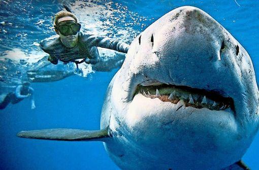 Taucher streicheln riesigen Weißen Hai