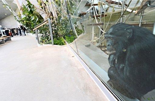 Schon knapp zwei Jahre nach dem Einzug der Bonobos (im Bild) und Gorillas ist das Menschenaffenhaus der Wilhelma ein Sanierungsfall Foto: dpa