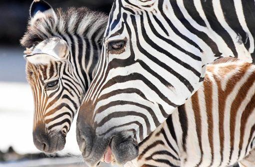 Zebrababy und Emus im Wasserrausch
