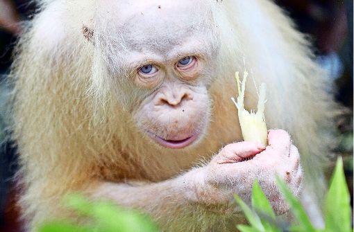 Eine eigene Insel für Orang-Utan Alba
