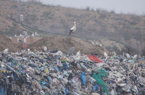 Sie überwintern auf der Müllkippe
