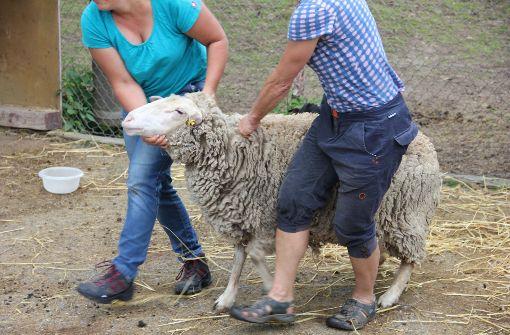 Die Schafschur stand im Vordergrund. Foto: Torsten Ströbele
