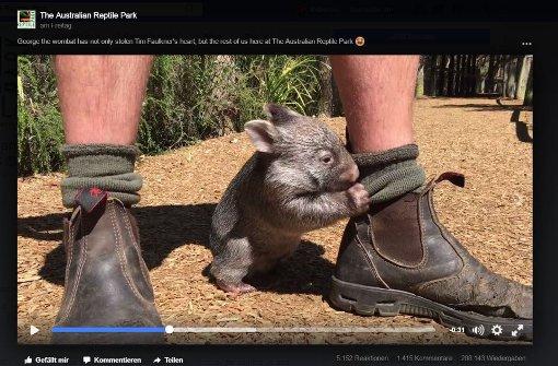 Baby-Wombat George ist außer Rand und Band