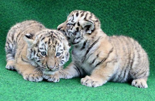 Etliche Namensvorschläge für Tigerbabys eingetroffen
