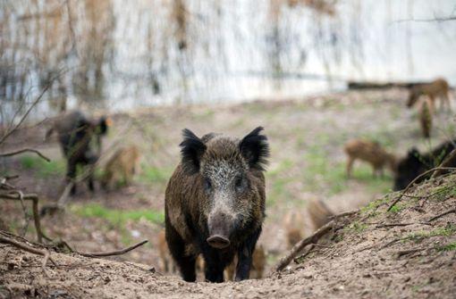 In Bretzfeld haben mehrere Wildschweine versucht, in einen Supermarkt einzudringen. Foto: dpa