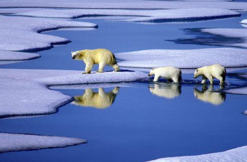 Kanada: Eine Eisbärenmutter marschiert mit ihren beiden Jungen auf Futtersuche über schmelzende Eisschollen im Gebiet der Nordwest-Passage in Kanada. Foto: dpa
