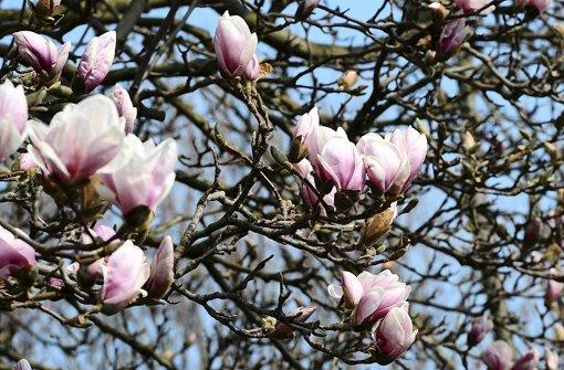 der gr ne daumen expertentipp magnolien pflanzen web. Black Bedroom Furniture Sets. Home Design Ideas