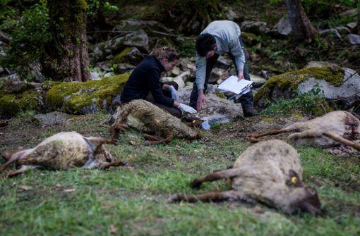 Betrieb fordert nach Wolfsangriff mehr Hilfe