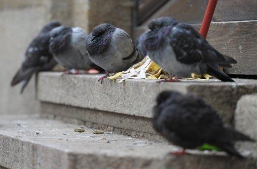 Im Dachgebälk des ehemaligen Verwaltungsgebäude der Deutschen Bahn haben sich Tauben eingenistet – Jetzt werden sie kontrolliert umgesiedelt Foto: dpa