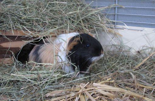 Dieses Meerschweinchen sucht auch ein Zuhause. Es darf aber nicht mit Kaninchen gehalten werden, weil die zu empfindliche Ohren für die Fiepgeräusche der Tiere haben. Foto: Malte Klein