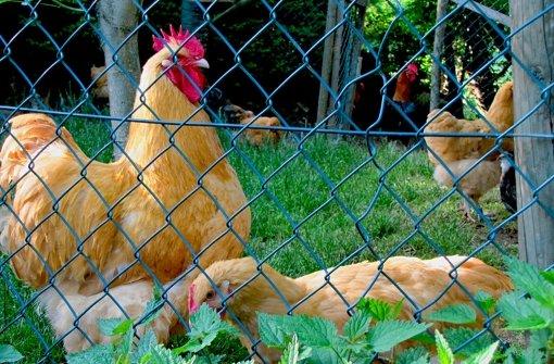 Der goldene Hahn sucht Konkurrenz