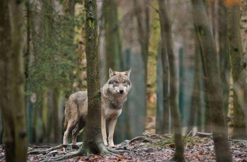 Zahl vermeintlicher Wolfssichtungen steigt – Bürger sollen sich melden