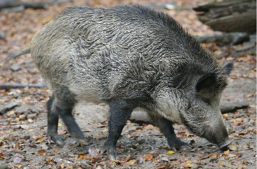 Wildschwein bricht in Fitnessstudio ein