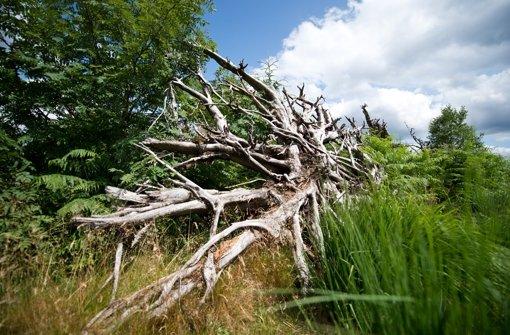 Natur pur: Wurzel eines umgekippten Baumes am Schliffkopf im Nationalpark Schwarzwald Foto: dpa