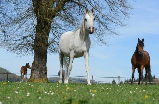 Pferdezucht feiert 500. Geburtstag