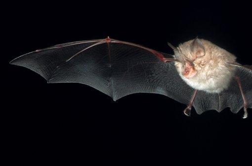 25 verschiedene Fledermausarten fliegen deutschlandweit durch die Nacht, darunter die Zwergfledermaus. Eine davon lernen Sie in unserer Bildergalerie näher kennen. Foto: dpa-Zentralbild