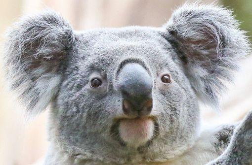Ein Artgenosse für Koala-Bär Oobi-Ooobi