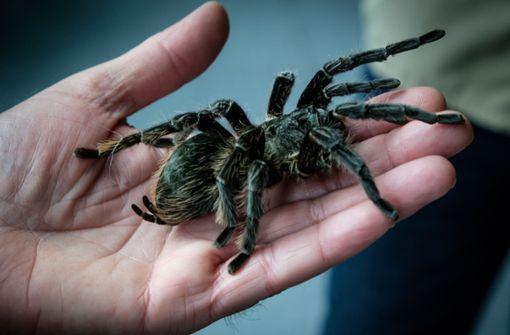 Zöllner entdecken 22 Vogelspinnen bei Kofferkontrolle
