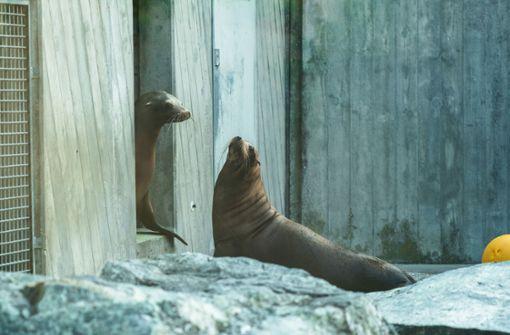 Die Kalifornischen Seelöwinnen Mercedes und Bella sind als erste Tiere in das derzeit leer stehende Eisbärengehege umgezogen. Foto: Wilhelma