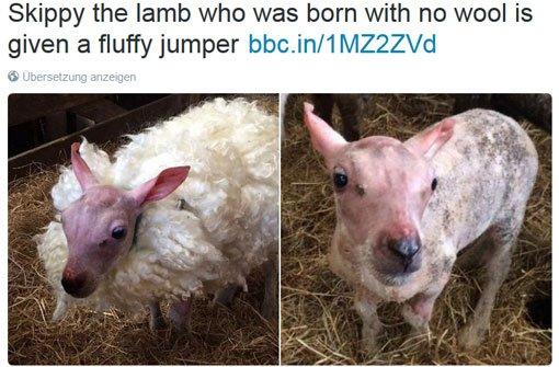 Schaf Skippy bekommt ein Kunst-Fell