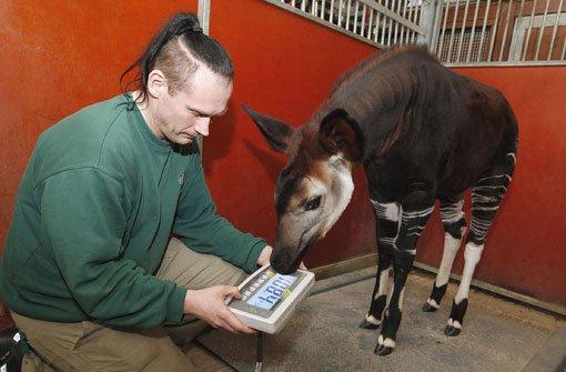 Einmal pro Woche kontrollieren die Pfleger in der Stuttgarter Wilhelma mit einer Großtierwaage das Gewicht des Okapi-Kalbs. Da Nyota Menschenhände gewöhnt ist, macht sie die Prozedur anstandslos mit. Foto: Wilhelma
