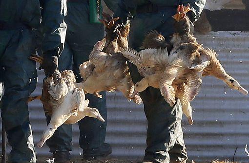 Weitere 600.000 Enten wegen Vogelgrippe getötet