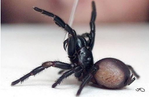 Tödliche Trichternetzspinne beißt Zehnjährigen