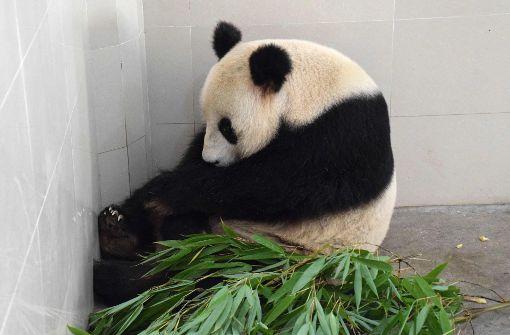 China und Frankreich im Panda-Fieber