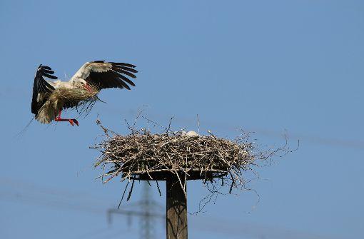 Libis Partner Coco ist im Anflug auf den Horst. Der Nachwuchs wartet schon Foto: Winfried Kräling