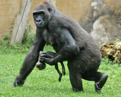 Trauer um Gorillaweibchen Gana
