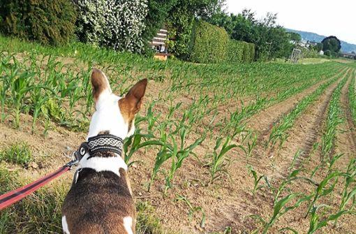 Der Blick geht aufs Feld, aber Freilauf ist für Hunde nicht mehr erlaubt. Foto: Eva Herschmann