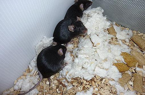 Diese Mäuse geben dem Tierheim Botnang Rätsel auf. Foto: Tierheim Botnang