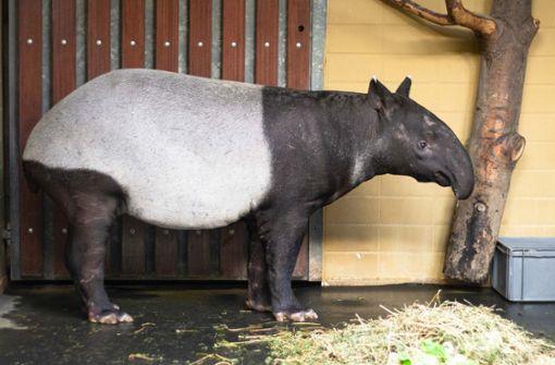 Tapir-Kuh Maya geht jeden Tag baden